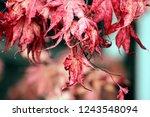 red japanese maple leaves in... | Shutterstock . vector #1243548094
