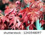 red japanese maple leaves in... | Shutterstock . vector #1243548097