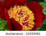Deep velvety red peony.  Macro with shallow dof - stock photo