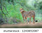 cheetah in green vegetation ... | Shutterstock . vector #1243852087