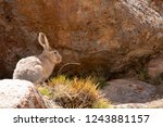 Stock photo tibetan hare woolly hare lepus oiostolus jammu and kashmir india 1243881157