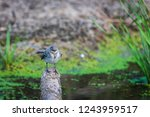 white wagtail or motacilla alba.... | Shutterstock . vector #1243959517