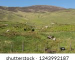 flock of sheep grazing on the... | Shutterstock . vector #1243992187
