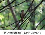Woodpecker A Bird From The...