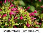 marvel of peru or mirabilis... | Shutterstock . vector #1244061691