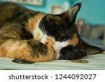 peaceful cat nap   Shutterstock . vector #1244092027