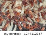 rusty grain beetle cryptolestes ...   Shutterstock . vector #1244112367