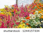 beautiful colored flowers of... | Shutterstock . vector #1244157334