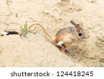 Small photo of jerboa (Allactaga major) with a long tail and ears - a cute little animal is on the long hind legs