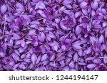 flowers of saffron after...   Shutterstock . vector #1244194147