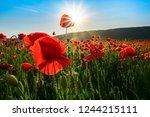 sea of poppy flower in...   Shutterstock . vector #1244215111
