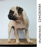 one animal pug mammal domestic... | Shutterstock . vector #1244283484