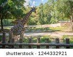 giraffe eating food from... | Shutterstock . vector #1244332921
