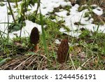Small photo of The first spring mushrooms grow right in the snow. Mushrooms, green grass and snow - inconsistent blending.