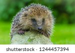 hedgehog  close up head ...   Shutterstock . vector #1244457394