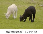 Two Lambs Grazing In Pasture ...