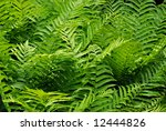 Lush green ferns with new growth. - stock photo