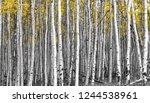 thick forest of tall aspen...   Shutterstock . vector #1244538961