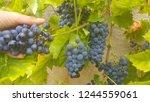 grape in wineyard | Shutterstock . vector #1244559061