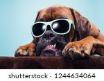 Stock photo close up on dog s head with sunglasses showing anger 1244634064