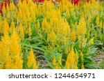 beautiful yellow celosia flowers | Shutterstock . vector #1244654971
