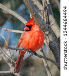 Close Up Of Bright Red Male...