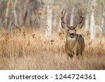 Mule Deer buck taken during the rut and deer hunting season - stock photo
