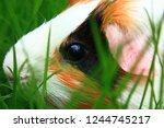 Calico Guinea Pig Face Through...