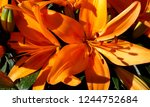 lilies in bloom | Shutterstock . vector #1244752684
