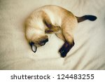 Stock photo beautiful siamese cat sleeping peacefully 124483255