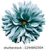 turquoise flower dahlia  on a... | Shutterstock . vector #1244842504