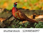 Small photo of Pheasant in Autumn. Common or Ring Necked pheasant stood in natural habitat with green nettles and Autumn or Fall leaves. Colourful plumage of the male pheasant. Landscape. Horizontal