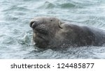 Elephant Seal Swims In The...