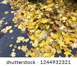 heap of yellow maple leaves... | Shutterstock . vector #1244932321