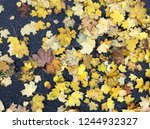 yellow autumn fall leaves are... | Shutterstock . vector #1244932327
