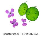Lunaria Annua  Commonly Called...
