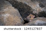 city rat in the drain hole   Shutterstock . vector #1245127837