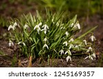 early spring flowers. galanthus.... | Shutterstock . vector #1245169357