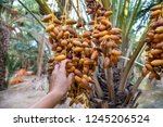 Dates On A Palm Tree  Tozeur ...
