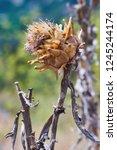 detail of a wild growing ... | Shutterstock . vector #1245244174