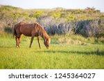 a wild pony  equus caballus ... | Shutterstock . vector #1245364027