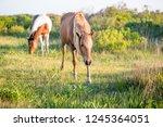 a pair of wild ponies  equus... | Shutterstock . vector #1245364051
