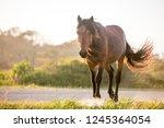 a wild pony  equus caballus  at ... | Shutterstock . vector #1245364054