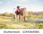 A Pair Of Wild Ponies  Equus...