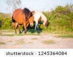 a pair of wild ponies  equus... | Shutterstock . vector #1245364084