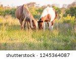 a pair of wild ponies  equus... | Shutterstock . vector #1245364087