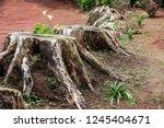 stumps from felled trees | Shutterstock . vector #1245404671