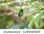 small colored colibri in a... | Shutterstock . vector #1245469204