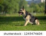 eastern european sheepdog sits... | Shutterstock . vector #1245474604
