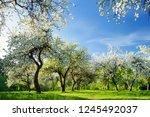 beautiful old apple tree garden ... | Shutterstock . vector #1245492037